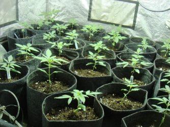 Claves y herramientas básicas para el cultivo de marihuana
