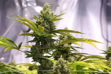 Cómo hacer un kit básico de cultivo de marihuana